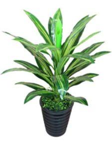 potted eucalyptus plants